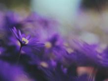非主流紫色的鲜花 非主流紫色的鲜花大全图片下载