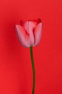 一枝红色郁金香花朵图片大全