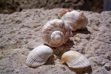 漂亮海螺贝壳 漂亮海螺贝壳大全图片