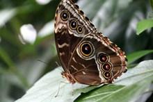 黑眼斑纹蝴蝶图片大全