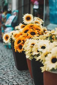 观赏盆栽小向日葵 观赏盆栽小向日葵大全高清图片