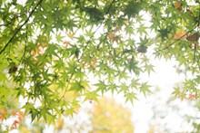 夏天绿色枫叶图片大全