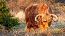 野生棕色牦牛图片