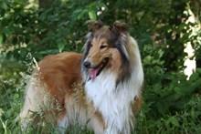 丛林大型牧羊犬高清图片