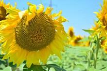 向日葵花海花朵特写精美图片