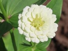 白色百日菊花朵精美图片