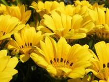 黄菊花花朵摄影高清图片
