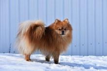 漂亮小型宠物狗图片下载