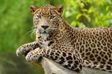 趴着休息的猎豹图片大全