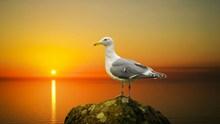 黄昏下的海鸥图片素材