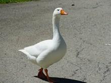 一只白色鸭子图片素材