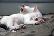 白色猫咪睡觉图片下载