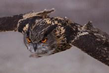 猫头鹰飞翔特写图片下载