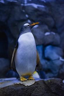 站在岩石上的企鹅图片