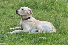草地拉布拉多犬图片素材