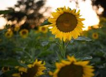 绽放的向日葵图片