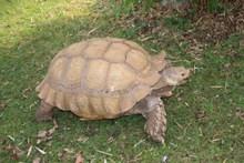 草地老乌龟爬行高清图