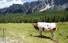 高地放牧奶牛图片下载