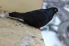黑色鸽子高清图片
