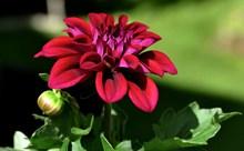 红色娇琴纱鲜花图片下载