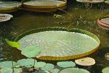 池塘莲蓬浮叶高清图