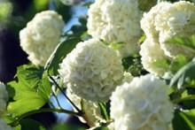 纯白色绣球花开花精美图片