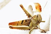 沙漠蝗虫图片素材