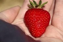 一个大红草莓图片下载