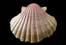 贝壳漂亮纹理图片素材
