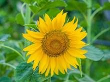 向日葵小花朵特��高清�D