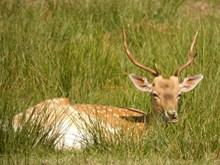 草地野生鹿休息高清图