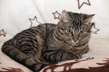 欧洲灰色短毛猫精美图片