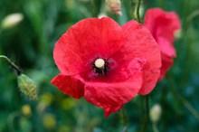 大红色罂粟花精美图片