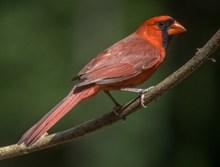 树枝上红色鸟高清图片