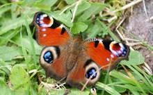 一只孔雀蝴蝶精美图片
