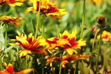 橙色菊花摄影图片下载
