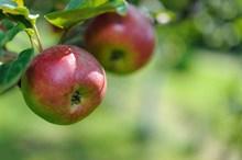 挂在树上的丑苹果图片素材