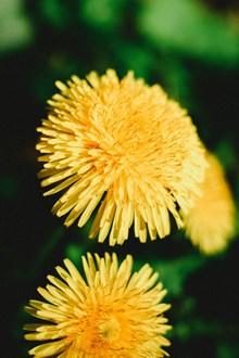 高雅的�S色菊花�D片素材