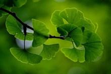 绿色银杏树叶图片
