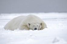 白色北极熊精美图片