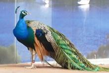 一只长尾孔雀高清图片