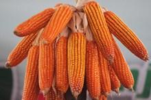 玉米棒晒干图片大全