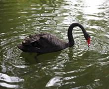 黑天鹅游泳高清图
