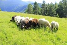 高原羊群吃草图片