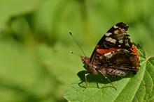 绿叶上停歇的蝴蝶图片素材