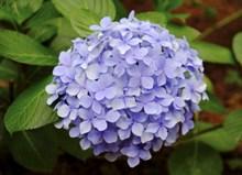 紫色绣球花簇图片素材