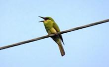 电线杆上食蜂鸟精美图片