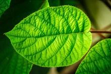 绿叶纹理特写精美图片