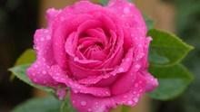 粉色玫瑰水滴图片