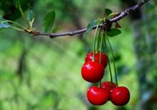 樱桃水果成熟图片素材